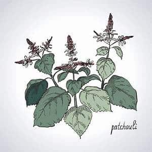 Dessin du patchouli avec ses feuilles