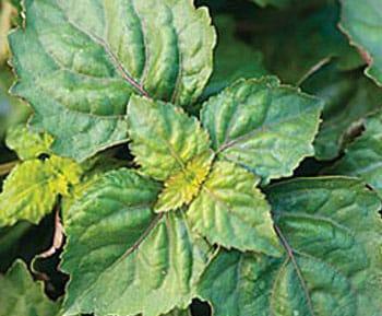 Le patchouli, plante tropicale utilisée en parfumerie